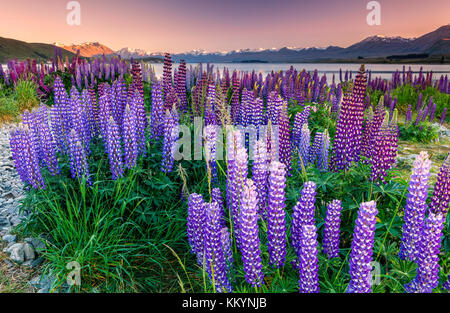 The lupins at Lake Tekapo, Mackenzie Country, New Zealand. - Stock Photo