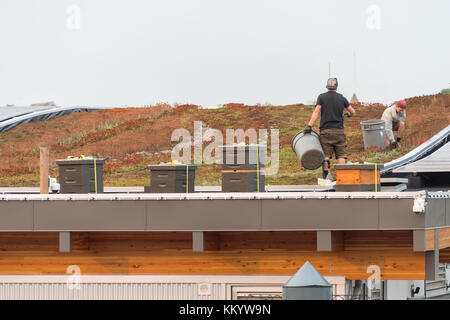 Victoria, BC, Canada - 7 September 2017: Gardeners working on the green roof of Victoria Harbour airport. - Stock Photo