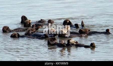 Southern California sea otters swim in a group March 16, 2010 in California.  (photo by Lilian Carswell via Planetpix)
