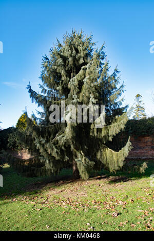 Picea breweriana aka Brewer's weeping spruce - Stock Photo