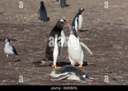 Gentoo penguin begging for food - Stock Photo