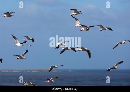 Gulls on Sea Lion Island, Falkland Islands - Stock Photo