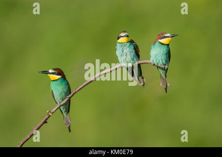 Bienenfresser, European bee eater, Merops apiaster - Stock Photo