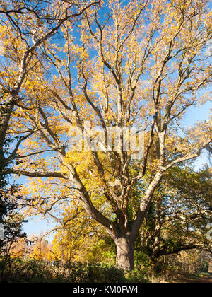 bare branches oak autumn no people many branches brown no leaves empty background; essex; england; uk - Stock Photo