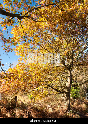 close up of yellow leaves on branch of tree autumn; essex; england; uk - Stock Photo