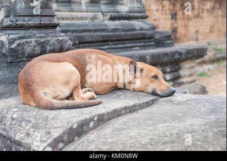 Stray dog resting at Angkor Wat in Siem Reap, Cambodia. Angkor Wat is a 12th century temple and a world famous UNESCO - Stock Photo