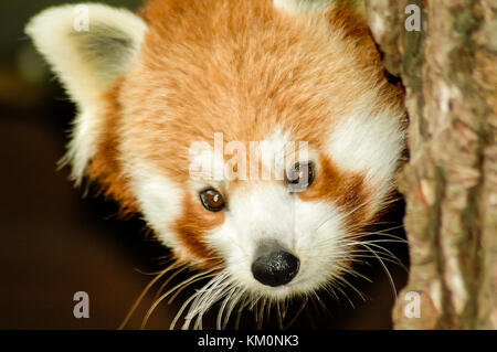 A Red Panda (Ailurus fulgens) or Lesser Panda peers from behind a tree. - Stock Photo
