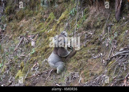 Koala bear on a rare descent to the ground in its natural habitat Great Otway National Park Victoria Australia - Stock Photo