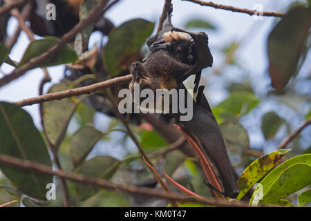 Spectacled flying fox with young in colony in Cairns Queensland Australia - Stock Photo