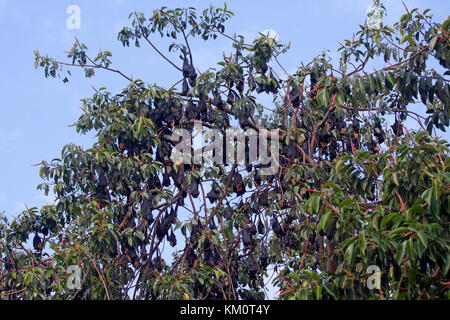 Spectacled flying fox colony in Cairns Queensland Australia - Stock Photo