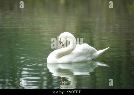 White swan portrait. Swan swimming on a river. - Stock Photo