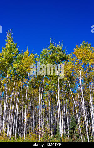 Close-up View of White Birch Stand of Trees, Yukon, Canada with Clear Blue Sky - Stock Photo