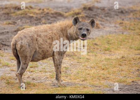 Hyena is watching you, on safari in Kenya - Stock Photo