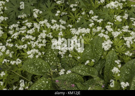 Bethlehem sage, Pulmonaria saccharata, and Sweet Woodruff, Asperula odorata, in wild garden flowerbed, - Stock Photo