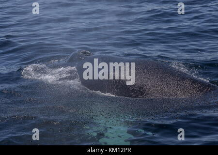 Humpback whale, Megaptera novaeangliae, surfacing to breathe. - Stock Photo