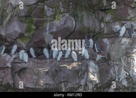 Common guillemots, Uria aalge, including bridled guillemots, nesting on lefges, Newfoundland. - Stock Photo
