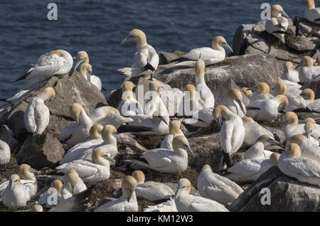 Northern gannet, Morus bassanus, colony on the cliffs at Cape St Mary's, Newfoundland. - Stock Photo