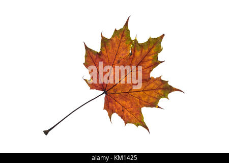 Maple leaf in green and brown autumn colouring white isolated - Stock Photo