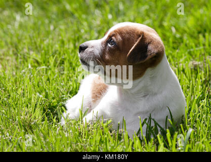 DANISH SWEDISH FARKDOG 2016 - Stock Photo