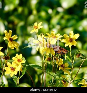Close up of yellow swamp, marsh, marigold flowers,Caltha palustris, with a butterfly, Paynes Prairie Nature Preserve - Stock Photo