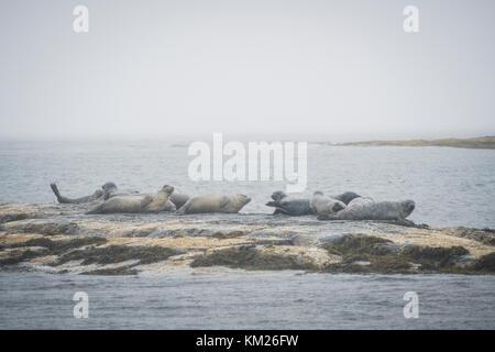 Seals on a rock off the foggy coast of the South Shore of Nova Scotia, Canada. - Stock Photo