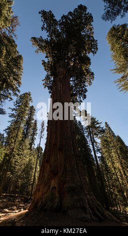 General Sherman giant sequoia (Sequoiadendron giganteum) tree located in the Giant Forest of Sequoia National Park - Stock Photo