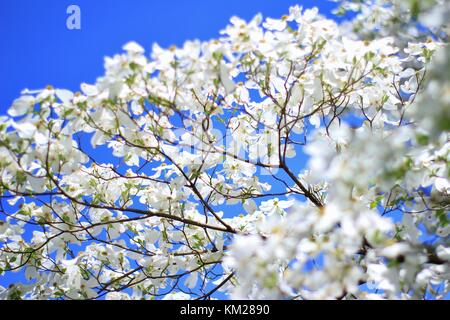 Dogwood Tree Blossoms - The Purest White from Colors in Nature - Stock Photo