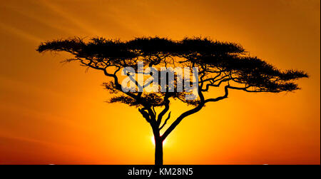 Silhouette of an acacia tree at sunset, Serengeti National Park, Tanzania, Africa - Stock Photo