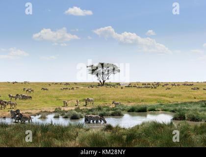 Zebras grazing in the Serengeti, Tanzania, Africa - Stock Photo