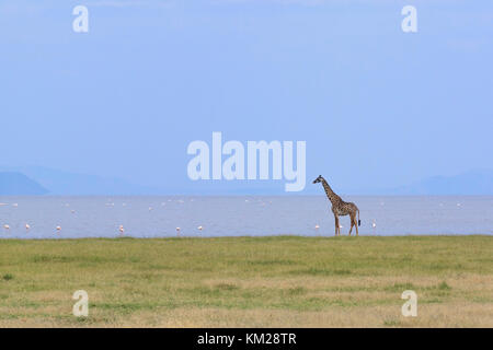 Giraffe and flamingos on the shoreline of Lake Manyara, Tanzania, Africa - Stock Photo