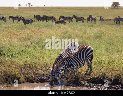 Zebras grazing in the Serengeti, Tanzania, Africa - Stock Photo