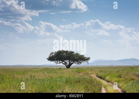 Acacia tree against a cloudy sky in the Serengeti, Tanzania, Africa - Stock Photo