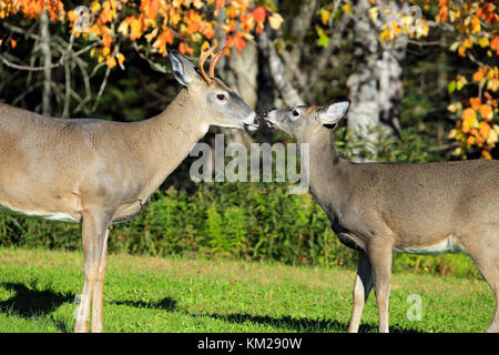 Love in the wild with Deer - Stock Photo