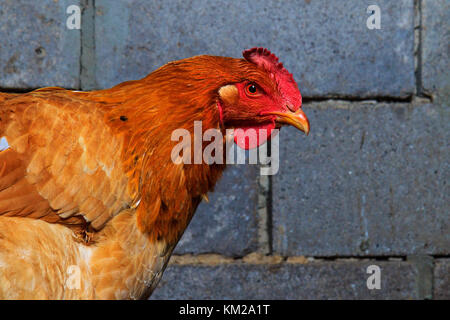 red chicken portrait on the background of a brick wall - Stock Photo