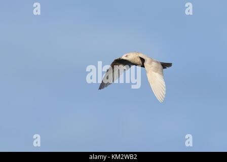 2nd Winter Iceland Gull - Stock Photo