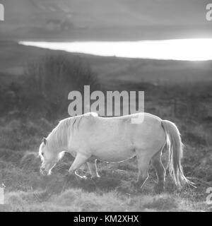 White horse - Andalusian stallion and sunset scenery - Stock Photo
