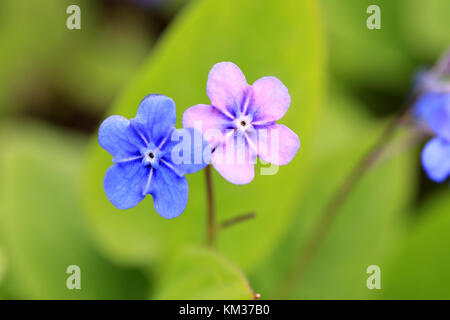 Two flowers of Omphalodes verna, also known as Blue-eyed Mary and Creeping Navelwort. The blossoms are first blue, - Stock Photo