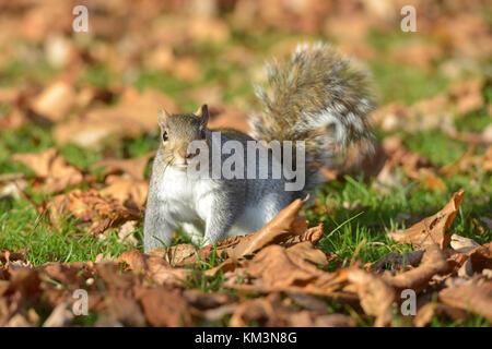Grey squirrel in Kensington Gardens, London. - Stock Photo