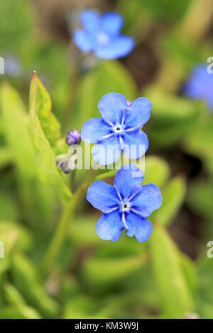 Blue flowers of Omphalodes verna, also known by common names Creeping Navelwort or Blue-eyed Mary, close up at spring - Stock Photo