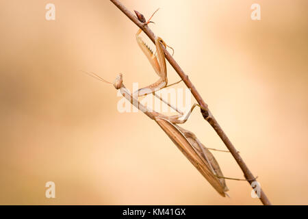 Female of a praying mantis (Mantis religiosa) waiting for a prey on a little branch. - Stock Photo