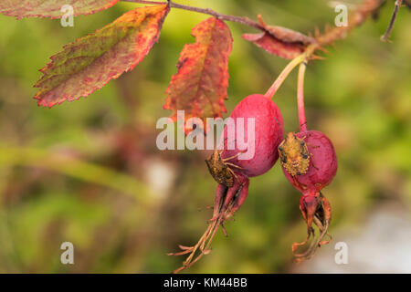 Rose hips with Brown Marmorated Stink Bugs (Halyomorpha halys) in Isle Royal National Park - Stock Photo