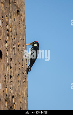 Wild Acorn woodpecker (Melanerpes formicivorus) storing acorns in a granary power pole in modjeska canyon Southern - Stock Photo