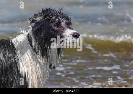 A wet dog (border collie) stands by the ocean, intently watching its master (off camera) and waiting for the next - Stock Photo