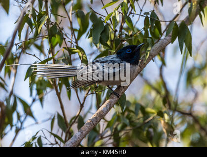 A male Madagascar Paradise-Flycatcher (Terpsiphone mutata) perched   on a branch. Kirindy Forest reserve. Madagascar, - Stock Photo