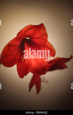 Two red amaryllis flowers - Stock Photo