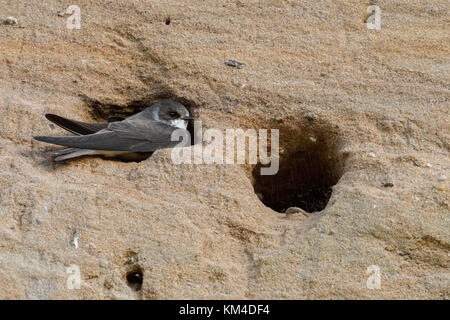 Sand Martin / Bank Swallow ( Riparia riparia ) sitting in, digging its nest hole, part of a breeding colony in a - Stock Photo