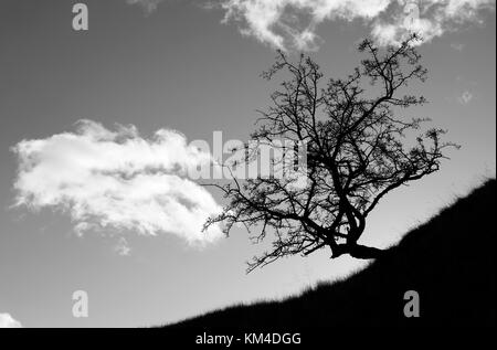 Hawthorn tree, Crataegus monogyna, on a hillside creating a dramatic silhouette, the initial effect is due to camera - Stock Photo