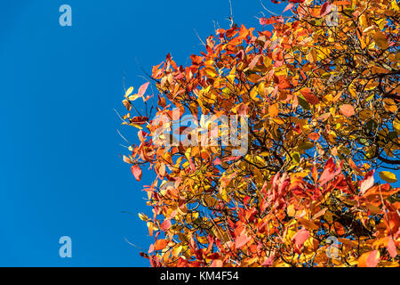 Close up of leaves in full Autumn colour an mixture of red , orange and yellow leaves with copy space - Stock Photo