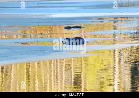 Wild North American Beavers feeding in icy waters in Ontario - Stock Photo