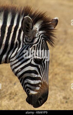 Zebra Head Side View Tanzania East Africa Stock Photo ...